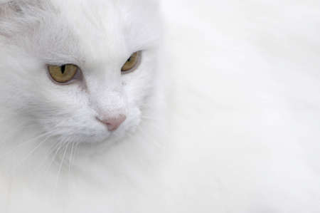 Portrait head shot of white cat fading into background