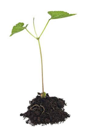 Green bean, vroege groei weergegeven: stam, bladeren en bean in de bodem op witte achtergrond. Stockfoto