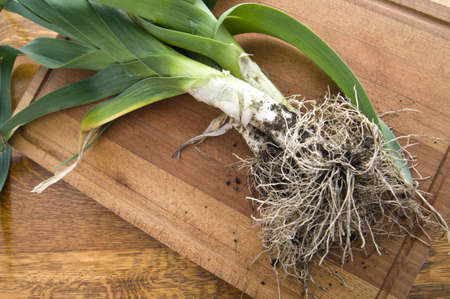 Leeks - frsh from the soil on kitchen board awaiting preparation