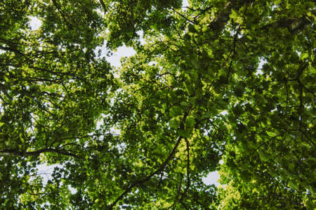 Looking up into tree canopy. HDR image.