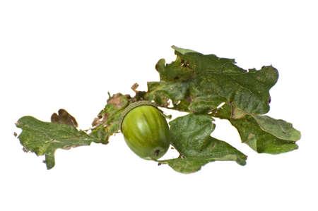 Green eikel op tak met bladeren. Geà ¯ soleerd op wit met het knippen weg.