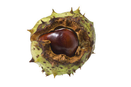 Conker in shell isolated in white with cliipping path. Stock Photo - 10526316
