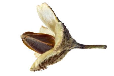 Macro-opname van beuken noten in open behuizing