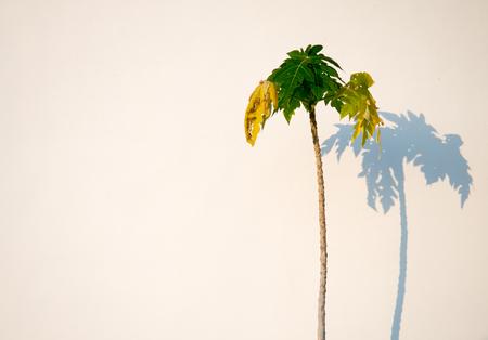 backgroud: Papaya tree on white backgroud. Stock Photo