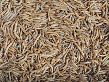 mealworm: Groups of Mealworm or worms for birds.It is food for pets that eat insects.