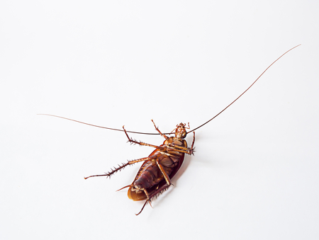 shifted: Cockroach supine on a white background.It is not yet dead, but it can not be shifted. Stock Photo