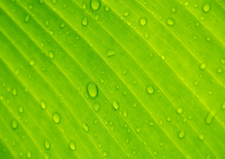 nature wallpaper: Closeup  drops of water under banana leaf texture, green and fresh in a garden.Abstract drops of water under banana leaf background.