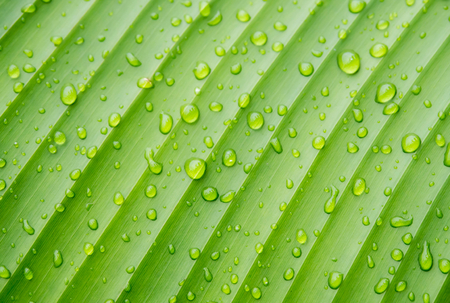 plant growth: Closeup  drops of water on banana leaf texture, green and fresh in a garden.Abstract drops of water on banana leaf background.