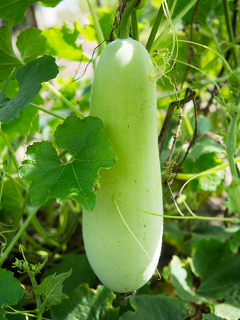 ash gourd: Fresh of green Winter melon on the tree.The Winter Melon, also called Ash Gourd, White Gourd, Winter Gourd, Tallow Gourd Chinese preserving melon is a vine grown for its very large fruit.