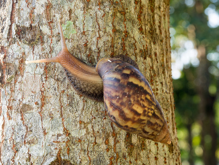 gastropod: One of Brown Snail is climbing up the tree.Snail is a common name that is applied most often to land snails, terrestrial pulmonate gastropod molluscs.