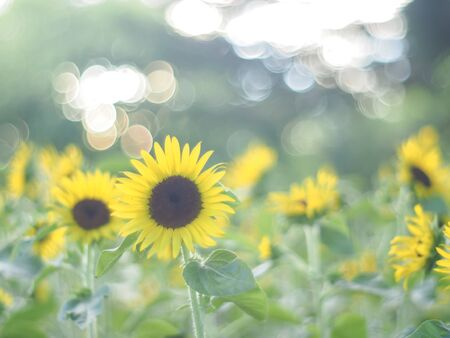 Close up field of sunflowers on the nature green background.