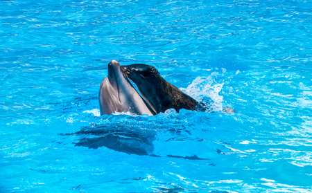 fur seal is riding on a dolphin playing in blue water Stock Photo