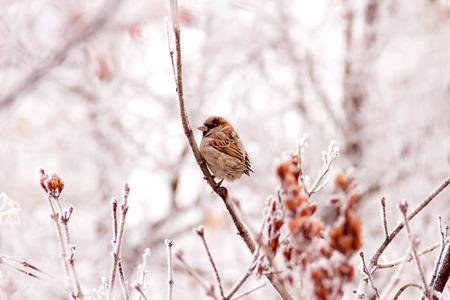 Winter sparrow 스톡 콘텐츠