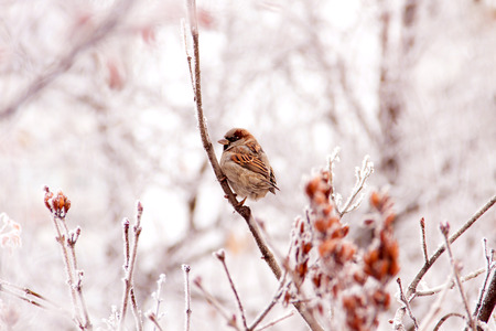 Winter sparrow Stock Photo