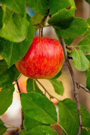 pomme rouge: D�tail de pommes dans le jardin de pommiers