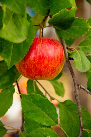 arbol de manzanas: las manzanas detallada en el jard�n de los manzanos