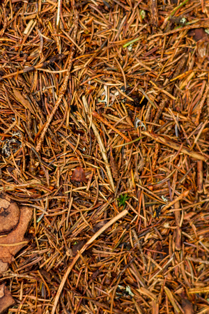 pine needles: Covering of dry pine needles in the forest Stock Photo
