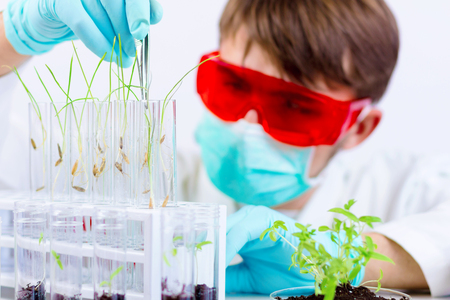 Environmental sciences. Scientist taking out gmo plant with a tongs from the glass flask for testing in the laboratory Stock Photo