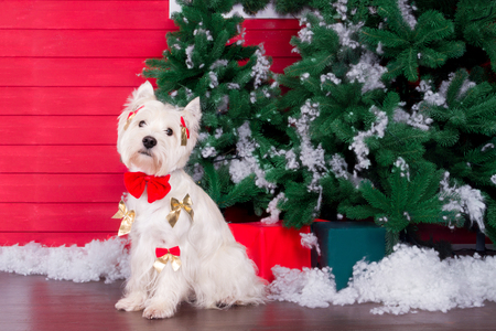 Decorated west highland white terrier dog as symbol of 2018 New Year with red bow tie and decorative bows and green christmas pine tree with gifts on background