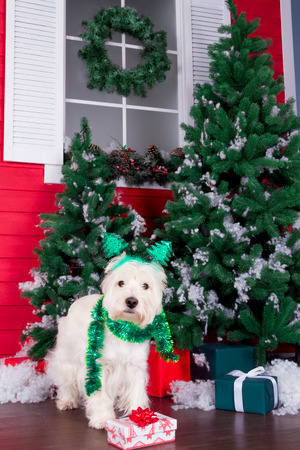 Decorated west highland white terrier dog as symbol of 2018 New Year with green christmas scarf, decorative bows and christmas horn and christmas pine tree with gifts on background