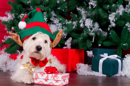 Decorated west highland white terrier dog as symbol of 2018 New Year with red bow tie, decorative bows and green elf hat with big ears and christmas pine tree with gifts on background Stock Photo