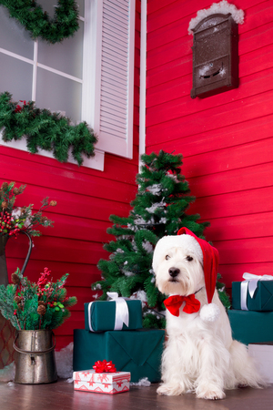 Decorated west highland white terrier dog as symbol of 2018 New Year with red bow tie, decorative bows and santa hat and green christmas pine tree with gifts on background