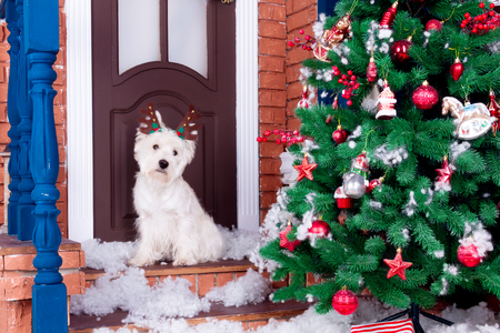 Decorated west highland white terrier dog as symbol of 2018 New Year with christmas deer horn sitting near door and pine tree in winter holiday