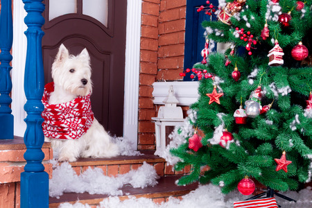 Decorated west highland white terrier dog as symbol of 2018 New Year in red winter scarf sitting near door and pine tree in winter holiday