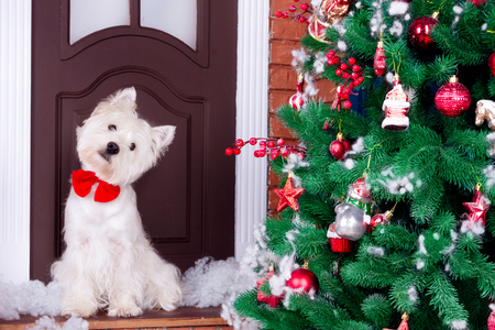 Decorated west highland white terrier dog as symbol of 2018 New Year with red bow tie sitting near door and pine tree in winter holiday  Stock Photo