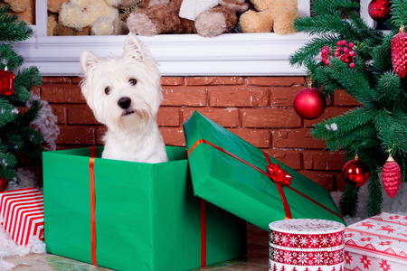Decorated west highland white terrier dog as symbol of 2018 New Year in red sweater sitting in green gift box near door in winter holiday Stock Photo