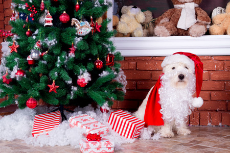 Decorated west highland white terrier dog as symbol of 2018 New Year in red sweater with red santa hat and beard lying near christmas tree and gold year numbers on background Stock Photo