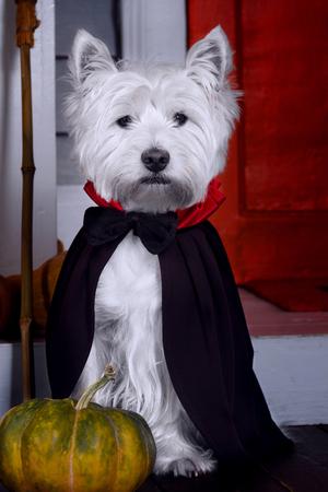 Lustiger weißer Terrierhund des Westhochlandes im gruseligen Halloween-Kostüm und im schwarzen Dracula-Umhang, die draußen mit Kürbissen mit der Angst gespenstischen Gesichtern und Herbstversagen sitzen Blätter. Halloween-Nacht-Konzept. Standard-Bild