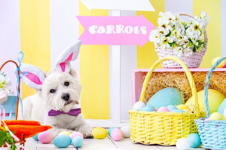 Funny west highland white terrier dressed in pink bow tie, hare ears is lying on floor. Cute dog is looking on orange carrots in basket. Festive decor on background. Happy easter, spring concept. Banque d'images