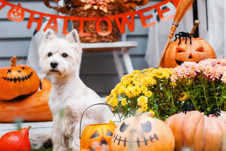 Funny dog west highland white terrier is sitting near decorated with orange pumpkins, flowers, garland house. Preparation for celebration. Trick or treat. Happy halloween and autumn concept.