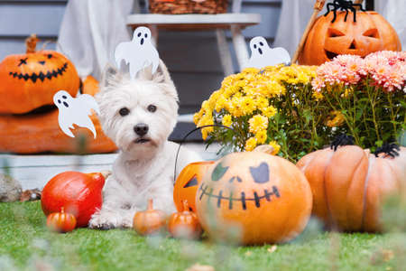 Funny dog west highland white terrier decorated with photo props is sitting near orange pumpkins, flowers, house. Preparation for celebration. Trick or treat. Happy halloween and autumn concept. Stock Photo
