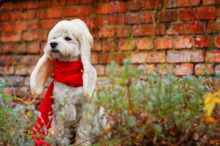 Funny dog west highland white terrier dressed in red scarf and white hat ear flaps is sitting outdoor in grass near brick wall on background. Preparation for cold autumn winter concept. Greeting card. Stock fotó