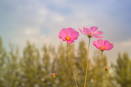 color in: cosmos flower white pink color in field