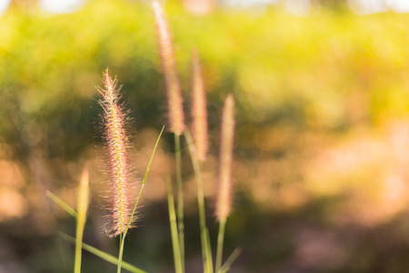totter: The Liliopsida, Poaceae Stock Photo