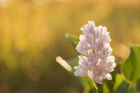 hyacinth: Jumbo Water Hyacinth
