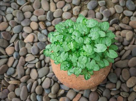 houseplants: Green leaves houseplants in pot,pothos