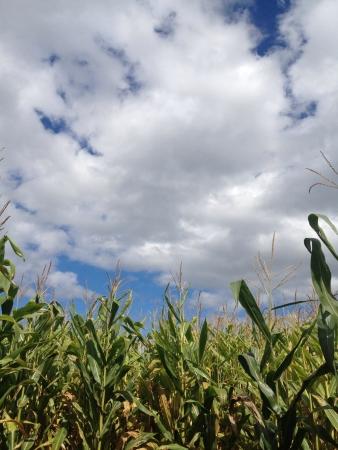 Corn maze in connecticut Reklamní fotografie