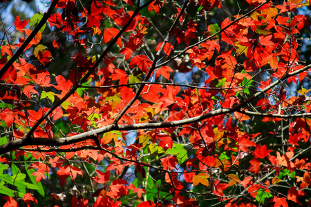 maple trees: Natural maple trees on the mountain.