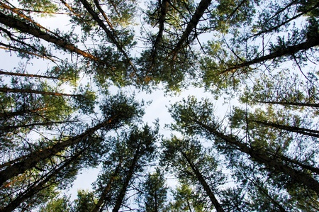 pine forest trunks and canopy