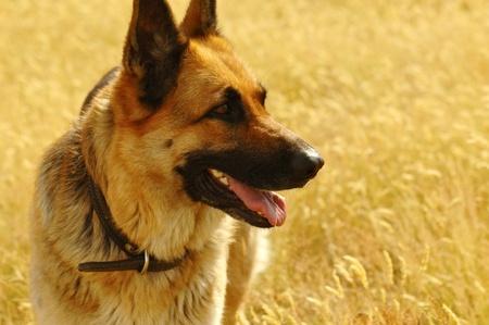 portrait of german shepherd in the meadow photo
