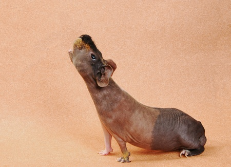 hairless: cavy on beige background Stock Photo