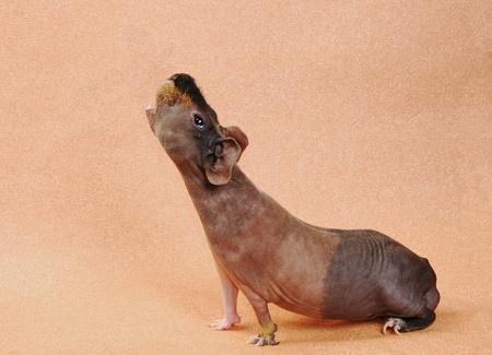 guinea: cavy on beige background Stock Photo
