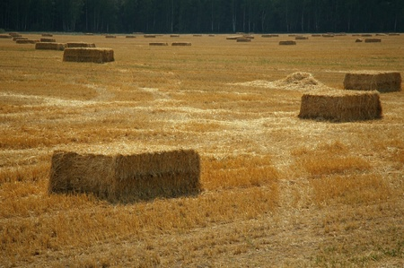 Hay bales of straw in the meadow photo