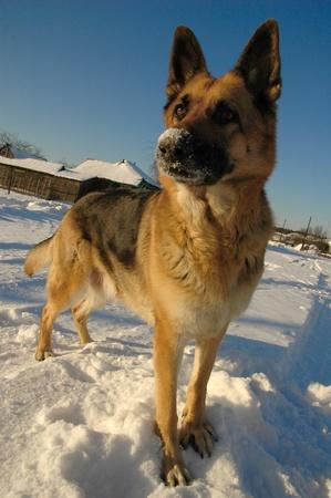 funny german shepherd dog playing on the snow photo