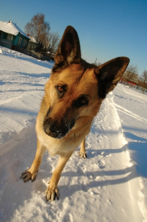 funny german shepherd dog standing on the snow photo
