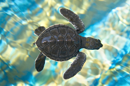 Baby sea turtle swimming in water Stock Photo
